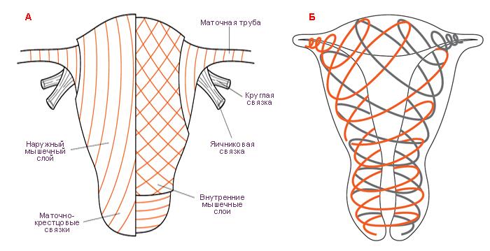 Картинки по запросу спиралевидные волокна матки
