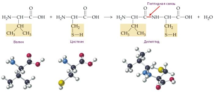 Образование дипептида из двух аминокислот посредством пептидной связи.